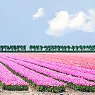 Dutch bulb field by Lifeware