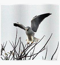 Black-Shouldered Kite landing Poster