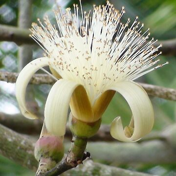 Jamaican Flowering Tree by Mowny
