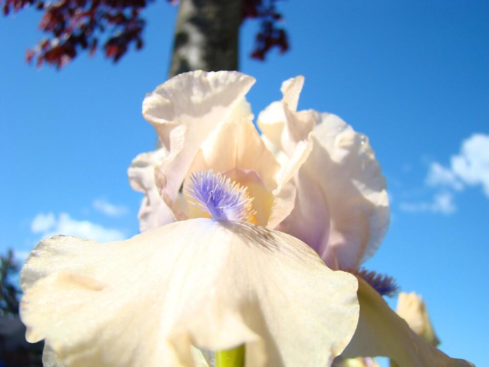 Peach Iris Flower art Blue Sky Floral Baslee Troutman by BasleeArtPrints