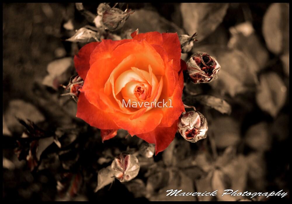 Maverick Rose by Maverick1
