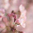 Kirschblüte von SaNe-Stuecke