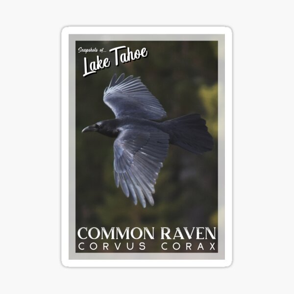 Snapshots of Tahoe: Common Raven Sticker