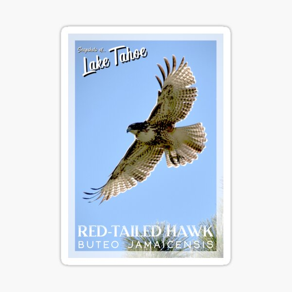 Snapshots of Tahoe: Red-Tailed Hawk Sticker
