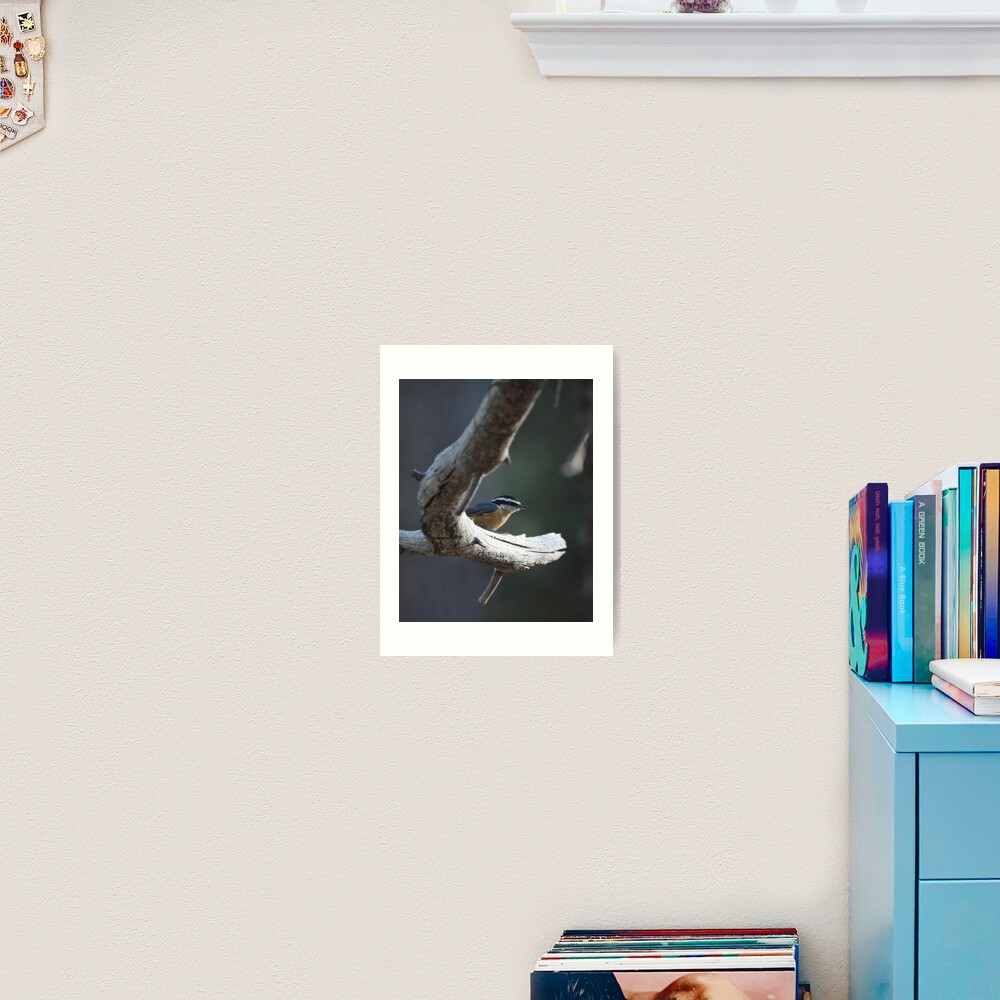 Red-Breasted Nuthatch Perched on a Branch Art Print