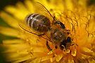 Honeybee on dandelion flower by Mario Cehulic