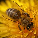 Honeybee on dandelion flower by Mario Cehulic