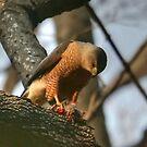 Hawk with Prey by Raider6569
