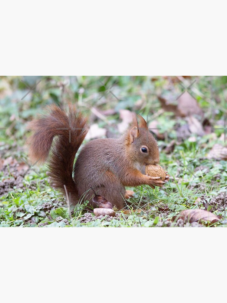 Red squirrel by VBMatossy