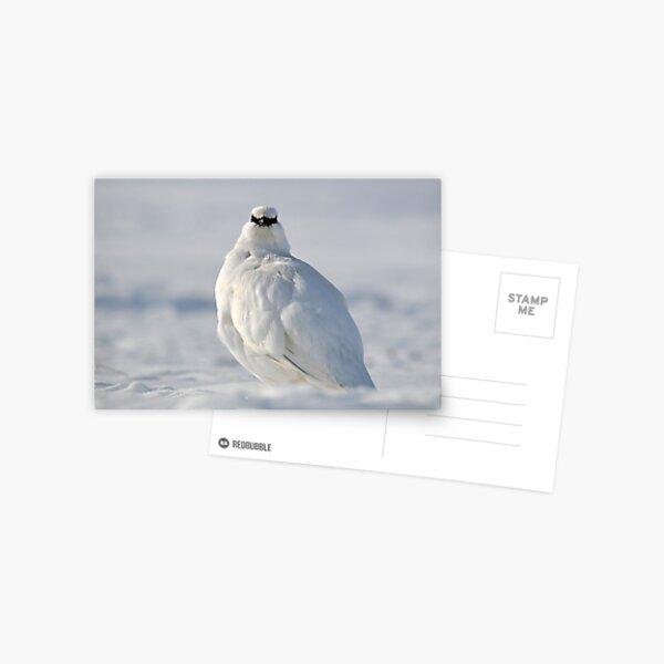Svalbard Ptarmigan Close Contact Postcard