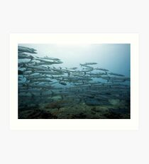 School of barracudas underwater Art Print