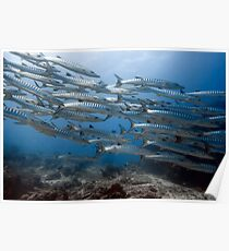 School of barracudas underwater Poster