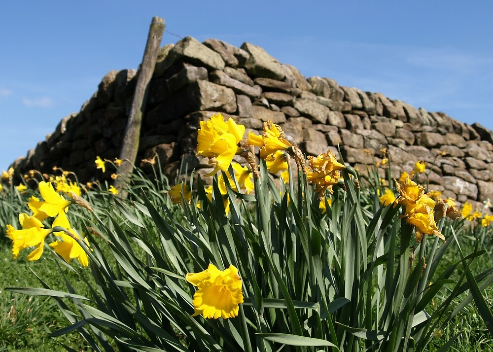 Slightly faded daffodils by Tony Worrall