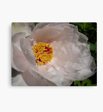 White Tree Peony Canvas Print