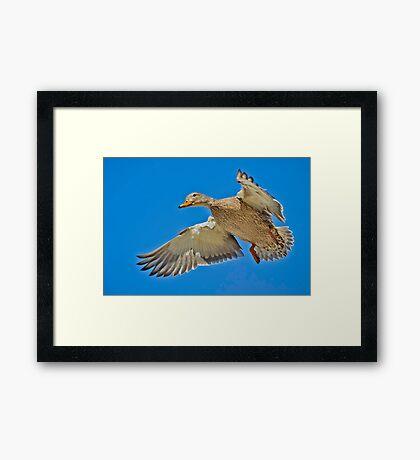 Mallard overhead Framed Print