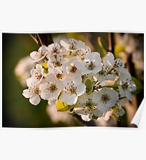 Spring Bloom - Cherry Blossums Poster