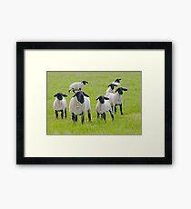 Suffolk Sheep Framed Print