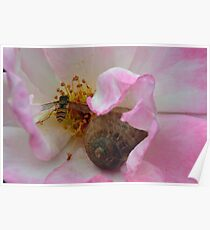 The Snail and the Hover-fly in the safety of a Rose  Poster