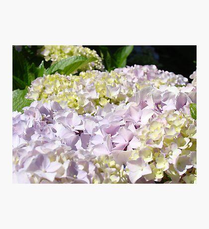 Floral Hydranges Flower Pink Lavender Garden Baslee Photographic Print