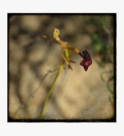 Hammer Orchid Photographic Print