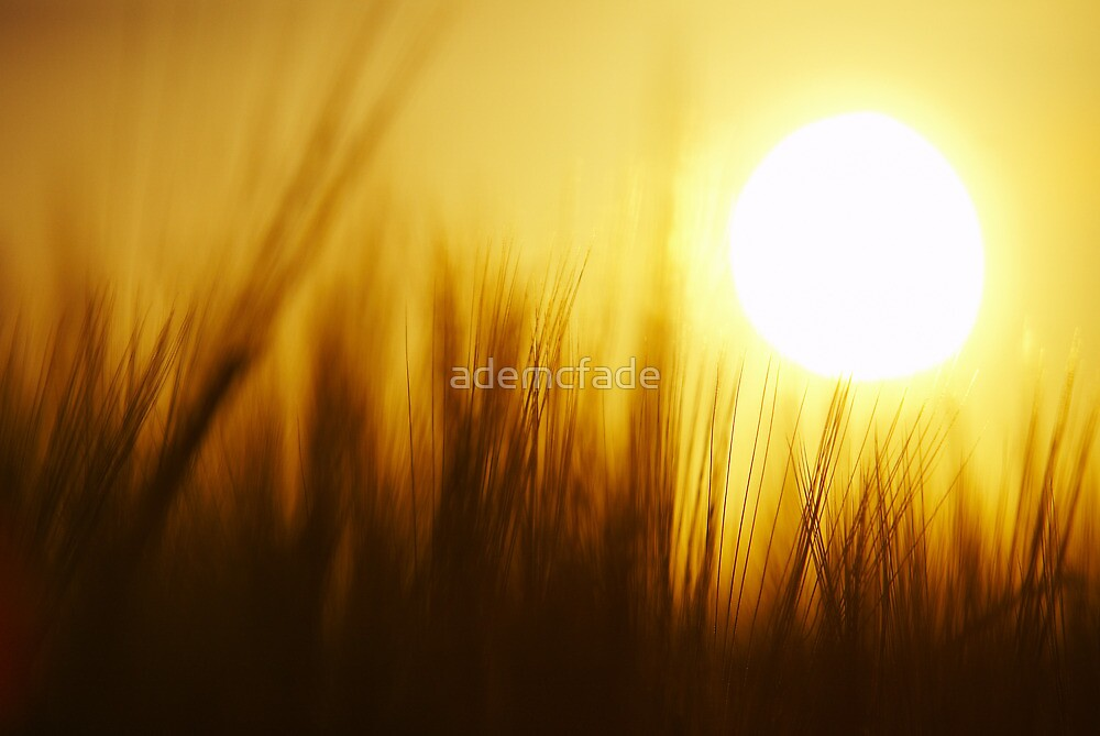 Barley Sunshine by ademcfade