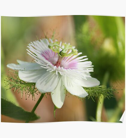 A Wild Passion Flower Poster