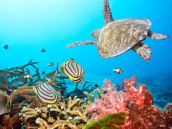 Butterflyfishes and turtle by MotHaiBaPhoto Dmitry & Olga