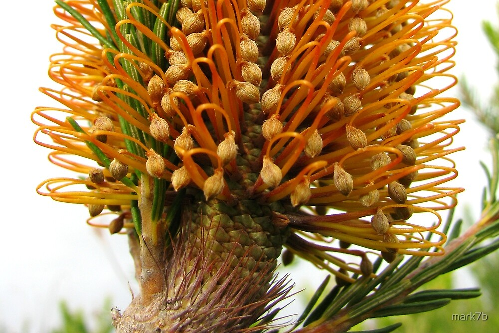 Banksia Glory by mark7b