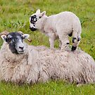 Mother Sheep & Lamb by M.S. Photography/Art