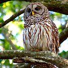 Barred Owl by Frank Bibbins