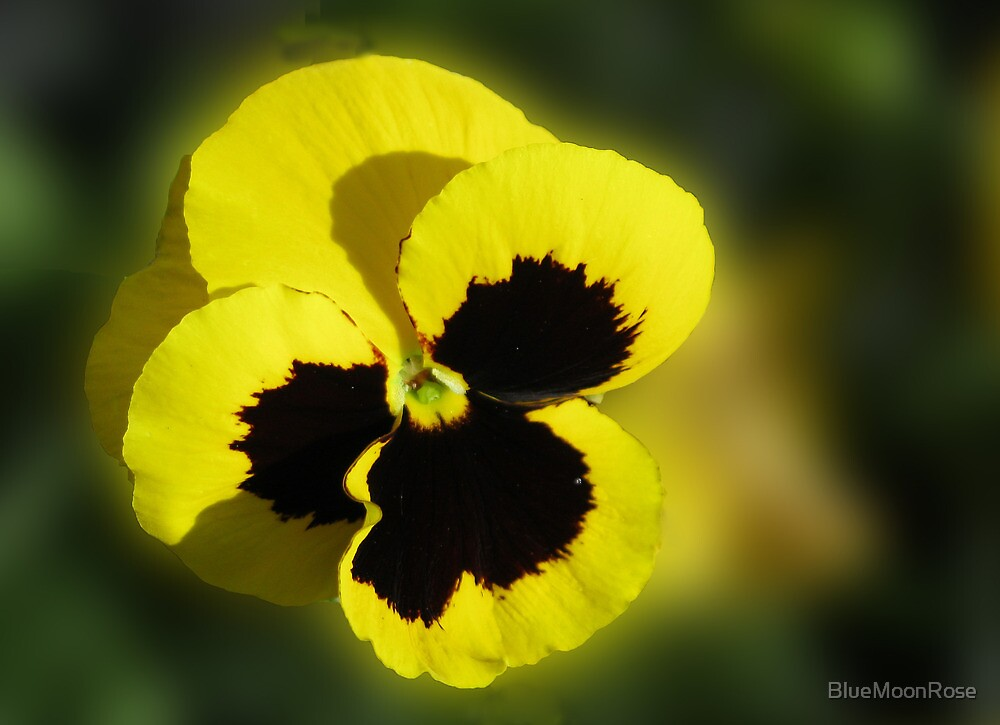 An Easter Pansy - Sunshine for the Soul by BlueMoonRose