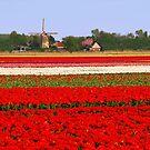Tulips + mill = Holland! by Adri  Padmos