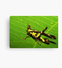 Rainforest katydid, Thailand Canvas Print