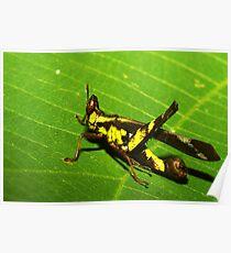 Rainforest katydid, Thailand Poster