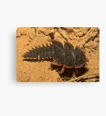 Trilobite beetle, Duliticola sp., Thailand Canvas Print