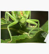 Great Green Bush-Cricket, Tettigonia viridissima Poster