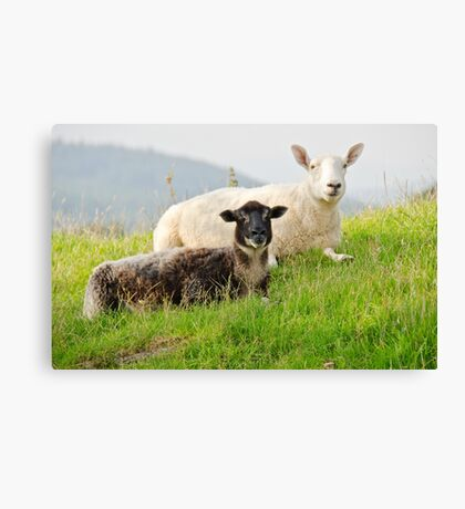 Relaxing Sheep Canvas Print