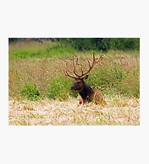 Bull Elk at Rest Photographic Print