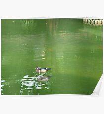 colourful Mandarin duck happily swimming like calm lake Poster
