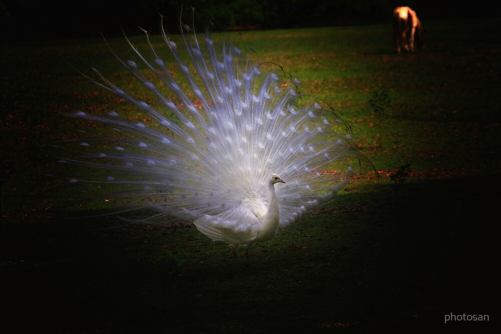 White Peacock 2 - Magnolia Gardens by photosan
