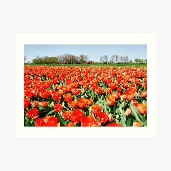 Tulips from Flakkee..... Art Print