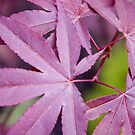 Red Acer by Steve plowman