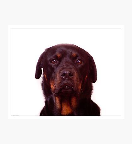 Rottweiler Photographic Print