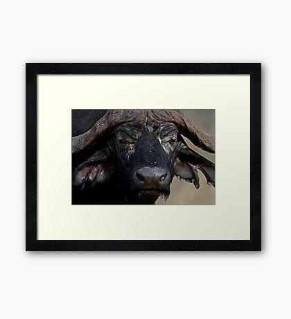 African Buffalo Framed Print