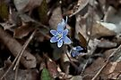 Hepatica by Mike Oxley