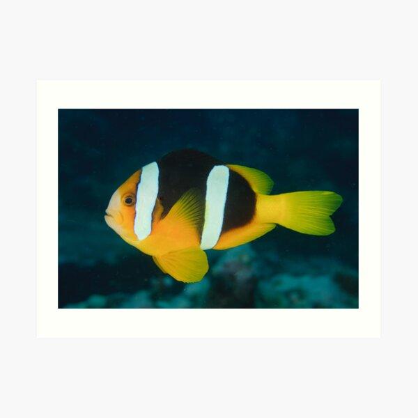 Clark's Anemonefish - Amphiprion clarkii Art Print