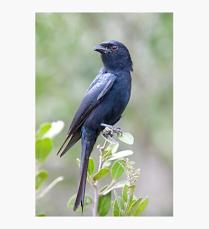 Fork Tailed Drongo Photographic Print