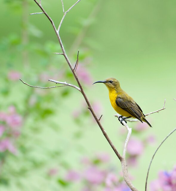 Out on a limb - Sunbird by Jenny Dean