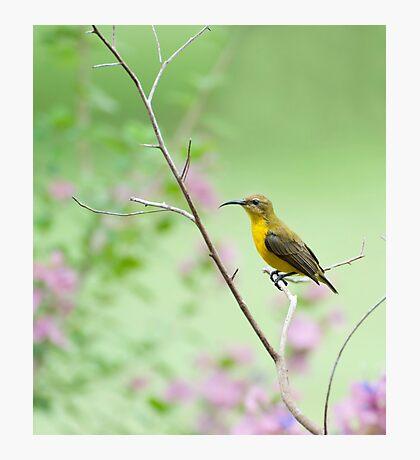 Out on a limb - Sunbird Photographic Print