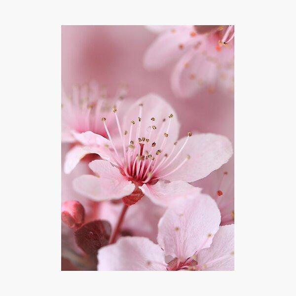 Plum Blossom 2 Photographic Print